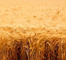 California Wheat Field by Buckwhite