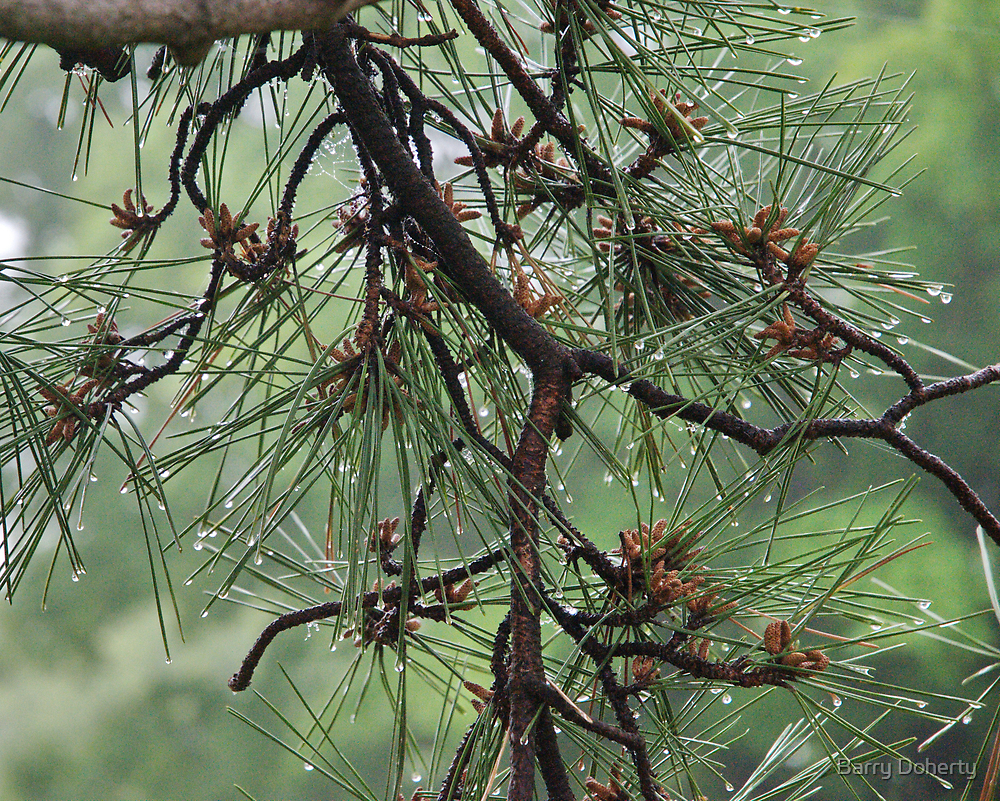 Pine Cluster by Barry Doherty