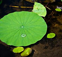 Lily Pad by Rick  Bender