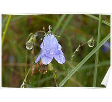 Plant, Harebell, Campanula rotundifolia, Raindrops, Poster