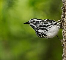 Black-and-White Warbler à-la Nuthatch. by Daniel Cadieux