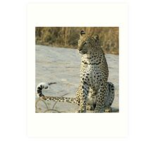 Young confident adult leopard! Art Print
