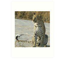 Young confident adult leopard! Art Print