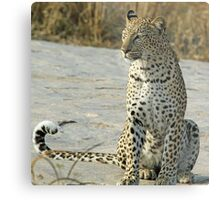 Young confident adult leopard! Metal Print