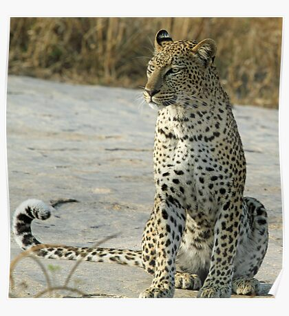 Young confident adult leopard! Poster