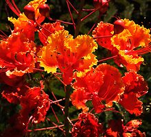 Mexican Red Bird Of Paradise by George Lenz