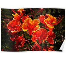 Mexican Red Bird Of Paradise Poster