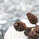 Baby Pine Cone by Robert  Miner