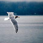 Sea Gull by Robert  Miner