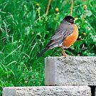 Robin by Robert  Miner