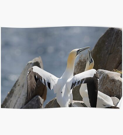 Welcome home, gannets, Saltee Island, County Wexford, Ireland Poster