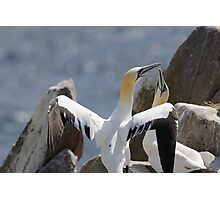 Welcome home, gannets, Saltee Island, County Wexford, Ireland Photographic Print