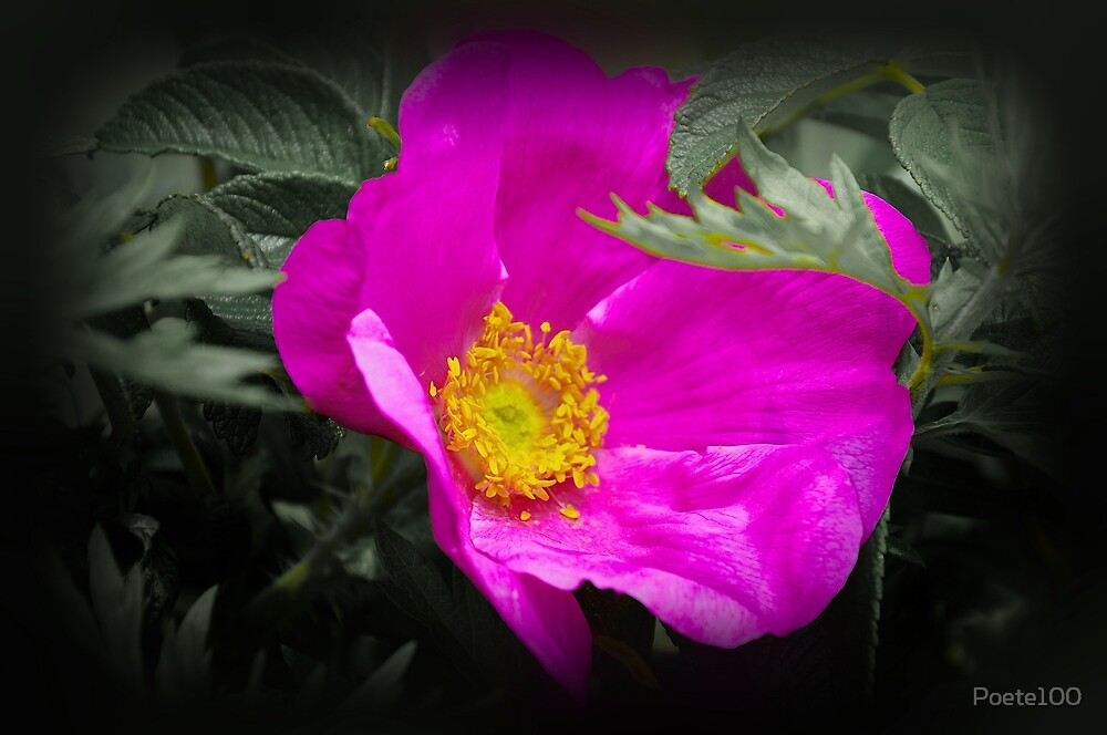 "Wild Rose of North America ""Sea Mist"" by Poete100"