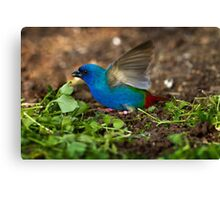 Tri Coloured Parrot Finch Canvas Print