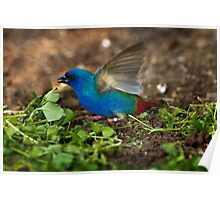 Tri Coloured Parrot Finch Poster
