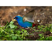 Tri Coloured Parrot Finch Photographic Print