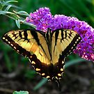 Swallow Tail B by Amy Herrfurth