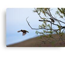 Black-headed Grosbeak, in flight Canvas Print
