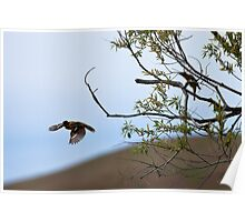 Black-headed Grosbeak, in flight Poster