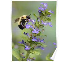 Blue Ajuga -- Bumble Bee Poster