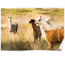 Alpacas in a field  Poster