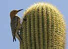 Gila Woodpecker ~ Male by Kimberly Chadwick