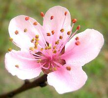 Solo Peach Blossom by Vanessa Barklay