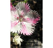 Dianthus in the House Photographic Print