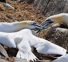 Territorial tussle, gannets fighting, Saltee Island, County Wexford, Ireland by Andrew Jones