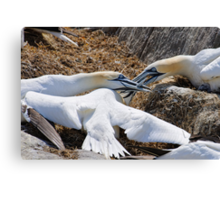 Territorial tussle, gannets fighting, Saltee Island, County Wexford, Ireland Canvas Print