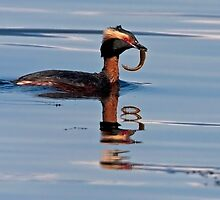 Horned Grebe Reflections by Martin Smart