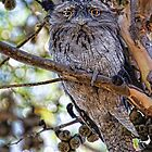 Young Tawny Frog Mouth by Cindy McDonald