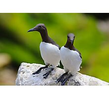 Guillemots, Saltee Island, County Wexford, Ireland Photographic Print