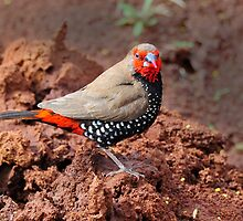 Painted Finch near Tom Price - WA by Alwyn Simple