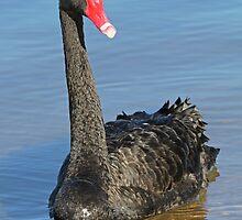Portrait Of A Black Swan by Robert Abraham