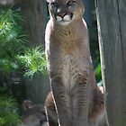 Mountain Lions by deb cole