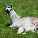 Chilled out llama by Elaine Hillson