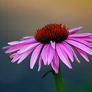 Echinacea by Eileen McVey