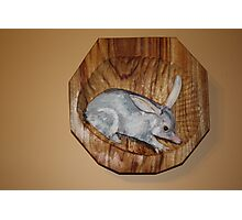 The Australian  Bilby, on the endangered list. Photographic Print