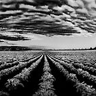 Bridgehampton Potato Field Sunrise by Rick Gold