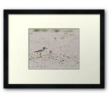 The Snowy Plover Framed Print
