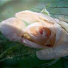 Evening Rose by virginian