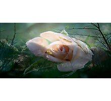 Evening Rose Photographic Print