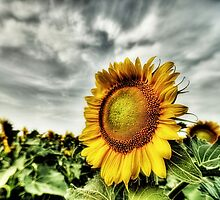 Sunflower Field - Hillsboro , Texas by jphall