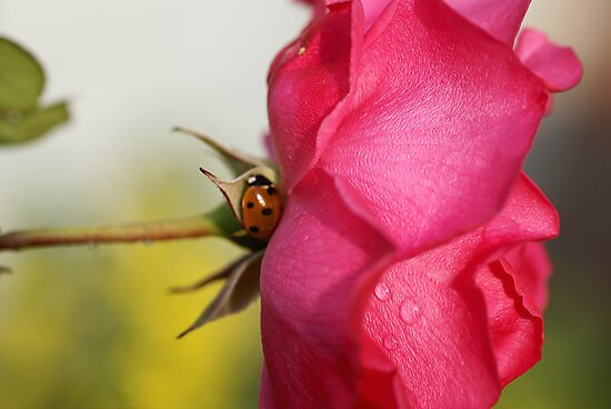The Ladybug and the Rose by walstraasart