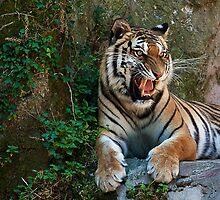 Tiger Three by Luca Tranquilli