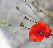 Poppy by Angela Bruno