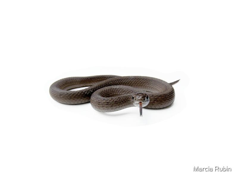 Northern Brown Snake by Marcia Rubin