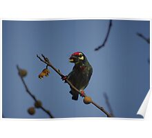 Coppersmith Barbet 2 Poster