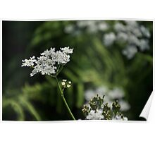 Cow Parsley Poster